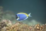 Fototapeta  - niebieska ryba pływa w oceanie