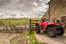 Sheepdog Watching You On Quad ...