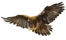 Golden Eagle Landing Hand Draw...