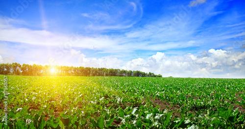 Obraz na plátně green beet field and blue sky
