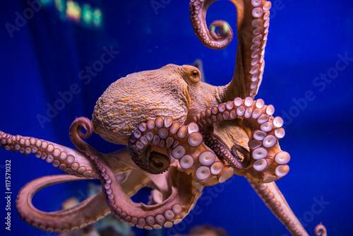 Fotografia Common octopus in large sea water aquarium