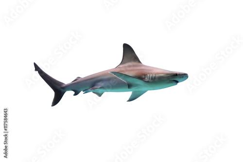 Shark on white background