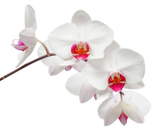 Branch Of White Orchid On Isol...
