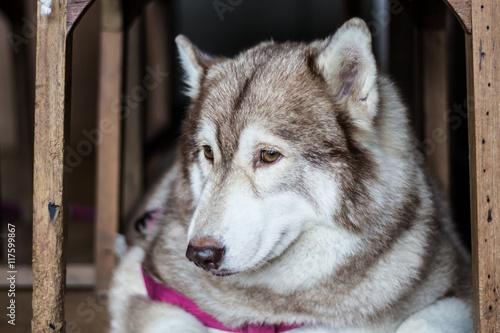 Fotografie, Obraz  Sadness Dog Siberian Husky was waiting for his owner