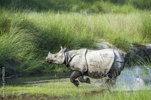 Spoed Foto op Canvas Neushoorn Greater One-horned Rhinoceros in Bardia national park, Nepal