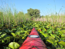 Nose Of A Red Kayak Moving Quietly Through A Green Leaves Of Water Lilies In Summer