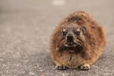 Fototapeta Zwierzęta - góralek na bliskim planie