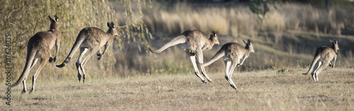 Spoed Foto op Canvas Kangoeroe kangaroos hopping in outback, Queensland,Australia