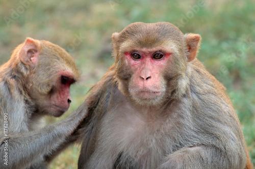 In de dag Portrait of rhesus macaque monkeys (Macaca mulatta), India.