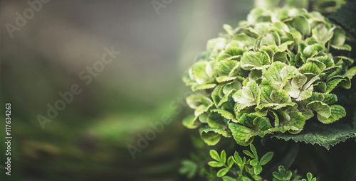 Foto auf Gartenposter Hortensie Green hydrangea blooming, floral nature background, outdoor, banner