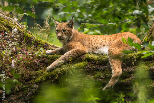 Photo Stands Lynx Luchs auf Baum