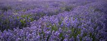 Stunning Landscape Of Lavender...