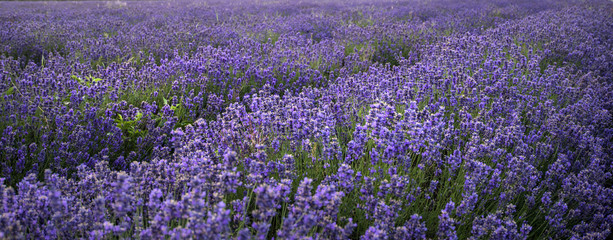 Panel SzklanyStunning landscape of lavender field withselective focus for emp