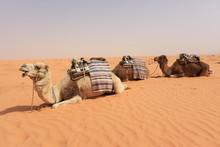 Wielbłądy Odpoczywają Na Pustyni