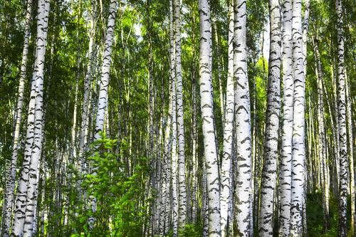 Tuinposter Berkbosje summer in birch forest