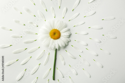 Foto op Canvas Madeliefjes Daisy flower with petals on white background