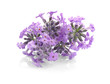 Lavender flowers on light background