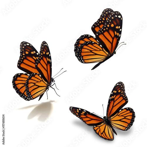 Fototapeta  three monarch butterfly