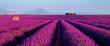 Leinwandbild Motiv Lavender field at sunset in Provence, France
