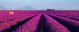 Lavender field at sunset in Provence, France - 117693248