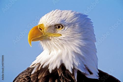 Poster Aigle Head of beautiful mature Bald Eagle against blue sky