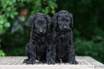 two curly coated retriever puppies