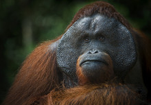 Portrait Of A Male Orangutan. ...
