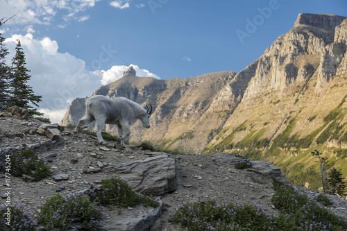 Valokuva  Glacier Mountain Goat