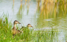 Ducks On Ashore In The Grass Near The Lake