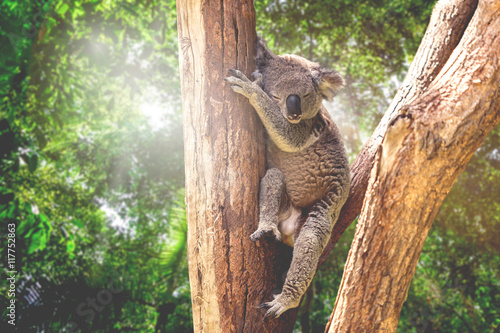 Foto op Canvas Koala Koala in the nature