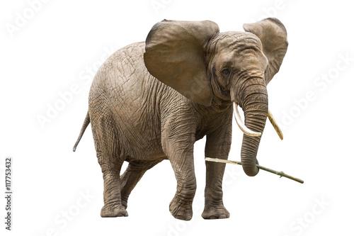 Photo sur Toile Elephant African elephant isolated on white