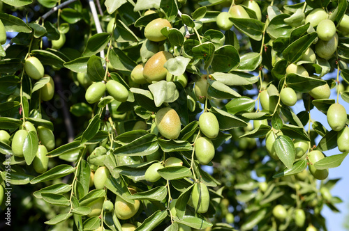 Jojoba  green plant Canvas-taulu