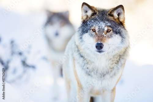 Spoed Fotobehang Wolf Two wolves in cold winter landscape