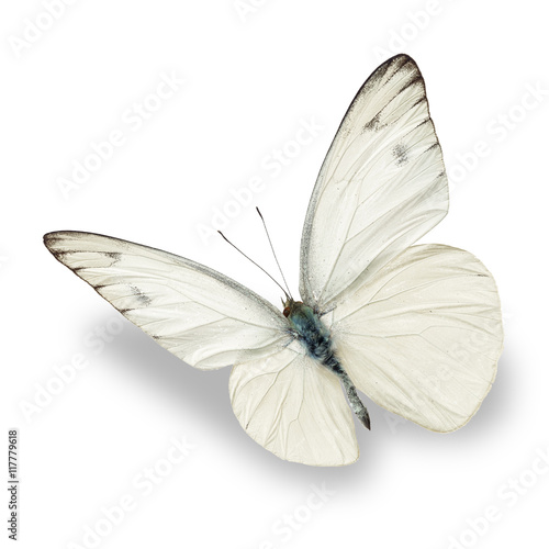 Photo sur Toile Papillon white butterfly