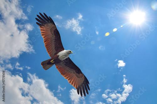 Poster Aigle Brahminy Kite