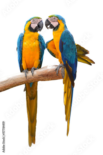 Couple of blue and gold macaw Canvas Print