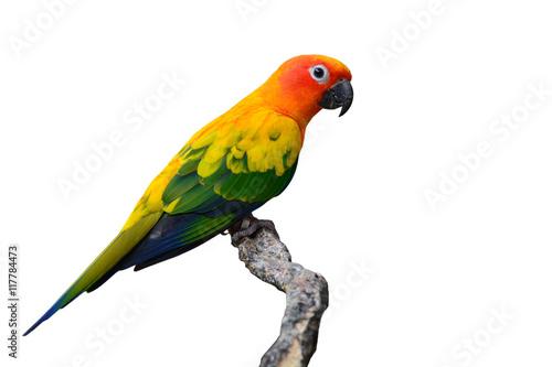 Autocollant pour porte Perroquets Sun Conure bird
