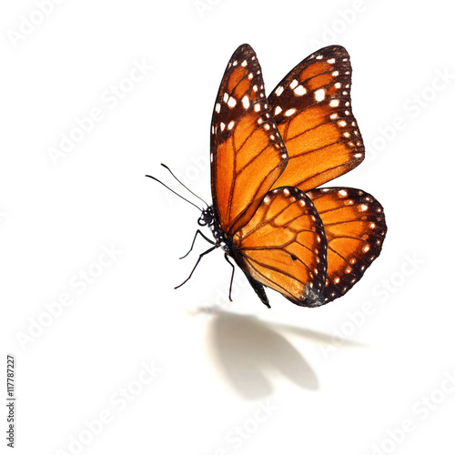 Fotografie, Obraz  monarch butterfly