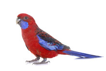 Crimson Rosella In Studio