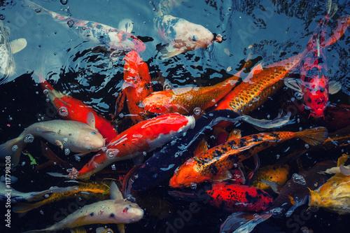 "Fotografie, Obraz  Colorful fish ""Koi fish"" swimming in the pond"