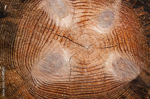Wood texture of cutted tree trunk. #117800643