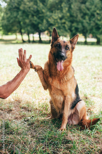 German shepherd dog giving a paw - Buy this stock photo and