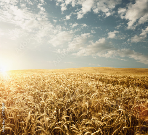 Empty wheat field at the sunset with copy space