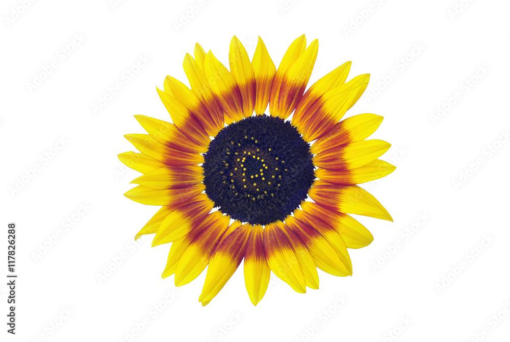 Sunflower blossom, isolated on white