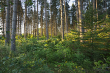 Morning Light Among Pine Trees In Northern Minnesota Forest