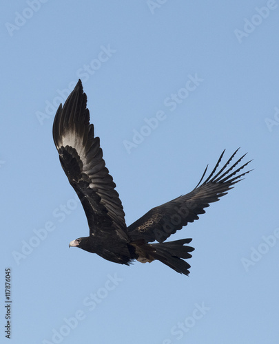 Poster Aigle wedge tailed eagle in flight.
