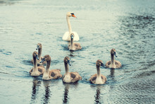 Family Of Swans Swimming On Th...
