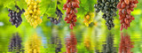 Image of grapes over the water in the garden closeup
