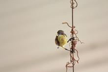 Female Olive-backed Sunbird, K...