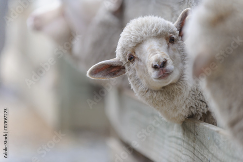 Fotobehang Schapen sheep breeding and farming - Schaf Aufzucht